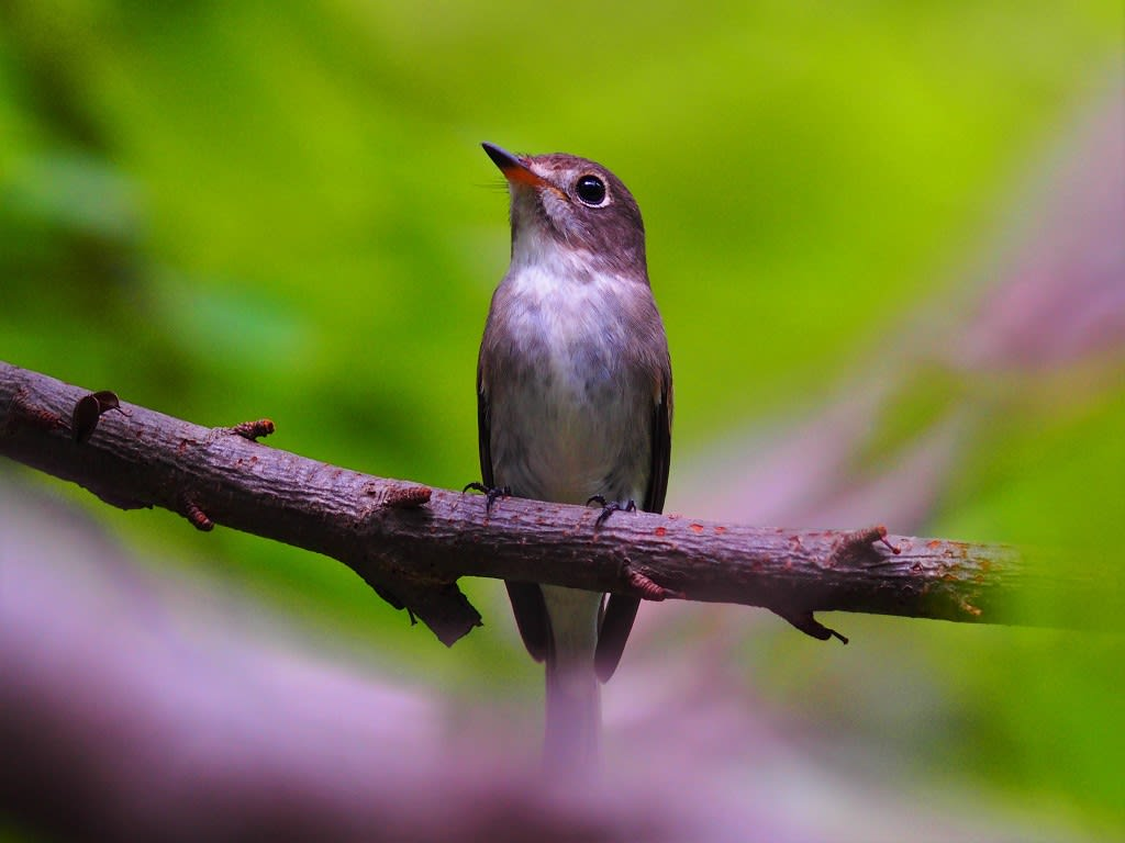インドネシアの野鳥一覧 - List ...