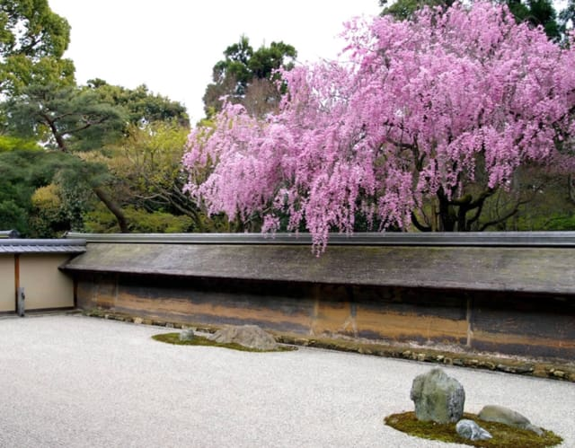 double reddish weeping cherry blossoms at ryoanji temple in kyoto