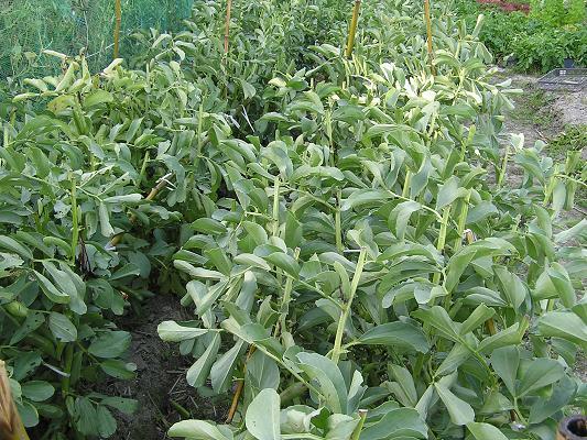 ソラマメの栽培(その3)収穫 - ...