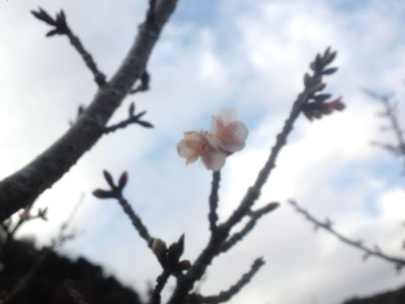 河津桜…だよな?