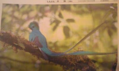 火の鳥のモデル 青い鳥ケツァール(写真)/ あさのあつこ赤旗