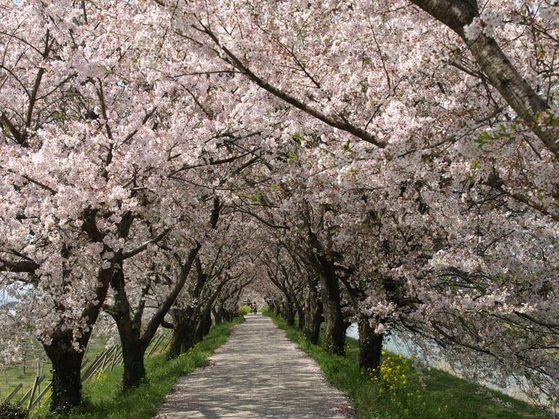 うきは(巨瀬川)の桜並木 - 博...