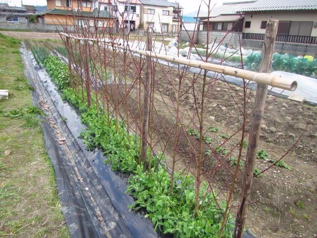 えん どう 豆 の 栽培