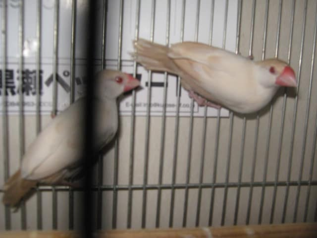 文鳥 ペット ショップ