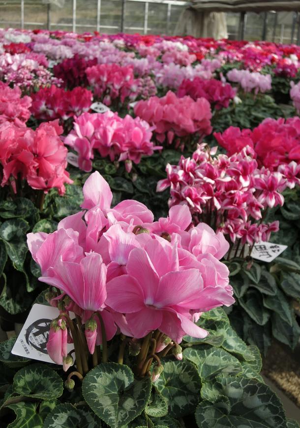 紫陽花(アジサイ) | 花ごよみ | 京都の自然 | 京都に乾杯