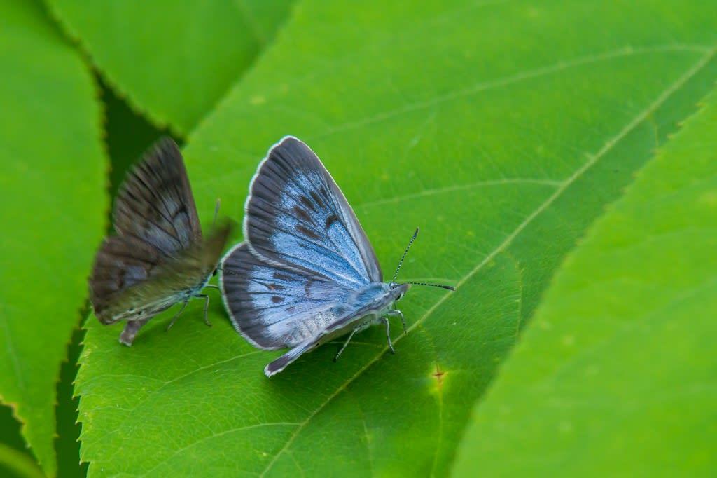 ゴマシジミ(青ゴマ)開翅の写真