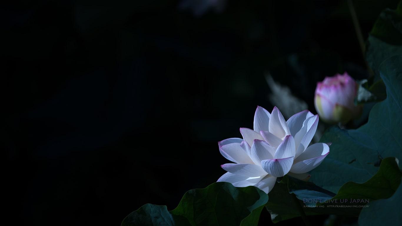 蓮の花が咲いていました 壁紙ing管理人の写真ブログ