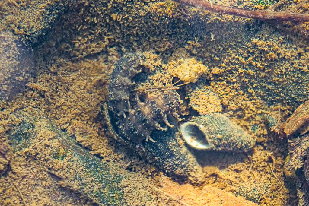 カワニナを食べるゲンジボタルの幼虫の写真