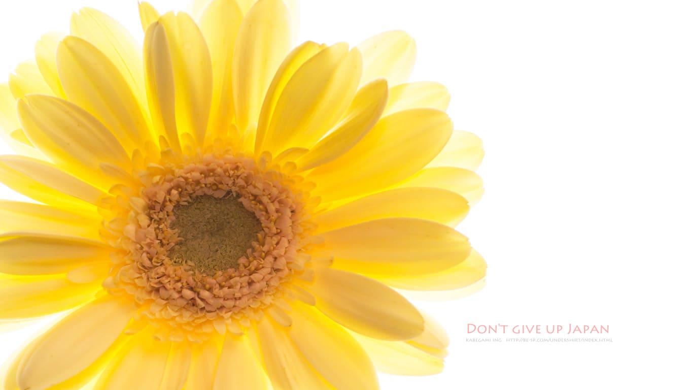 黄金色に光るガーベラ 壁紙ing管理人の写真ブログ