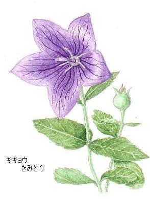 秋の七草キキョウの花イラスト桔梗 花を描いたポストカード