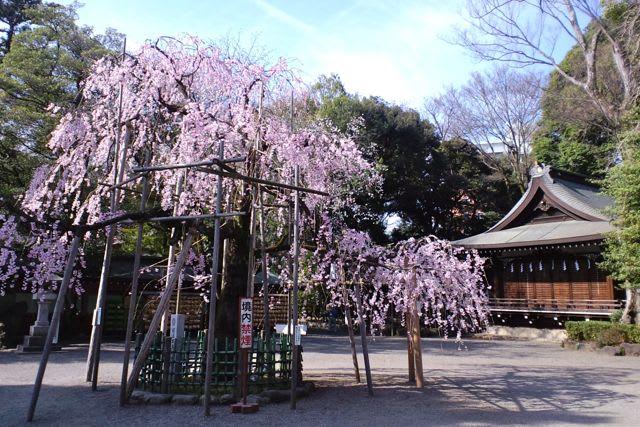 大国魂神社の桜 - あられの日記