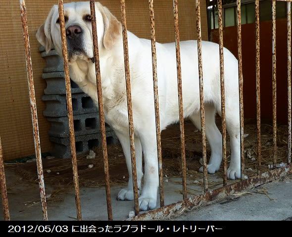 盲導犬アトム捜索日誌no 001 22829歩で見えた事 盲導犬のママ犬と