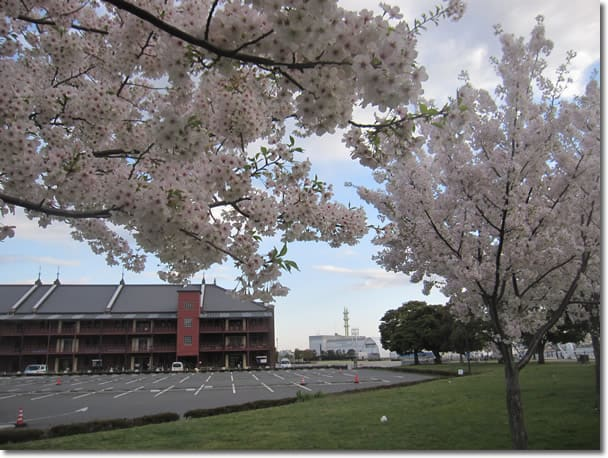 赤レンガパークにも満開の桜が咲いていました。