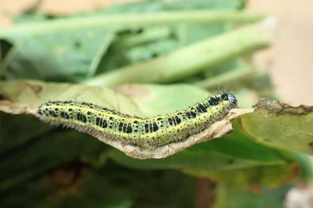 モンシロチョウ 幼虫