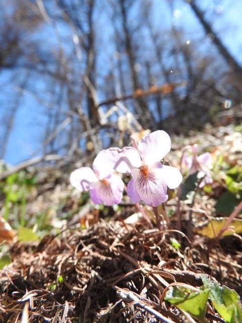 高ボッチ高原・鉢伏山で最近咲いている花 ヒナスミレ(雛菫)