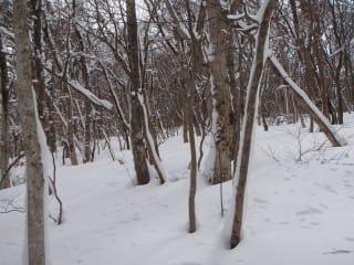 炭焼き窯跡。谷沿いに作られ、上から下へと集めて来るため、山側は若い木が多いが、同じ谷沿いでも、窯跡から下は古い木が多い。