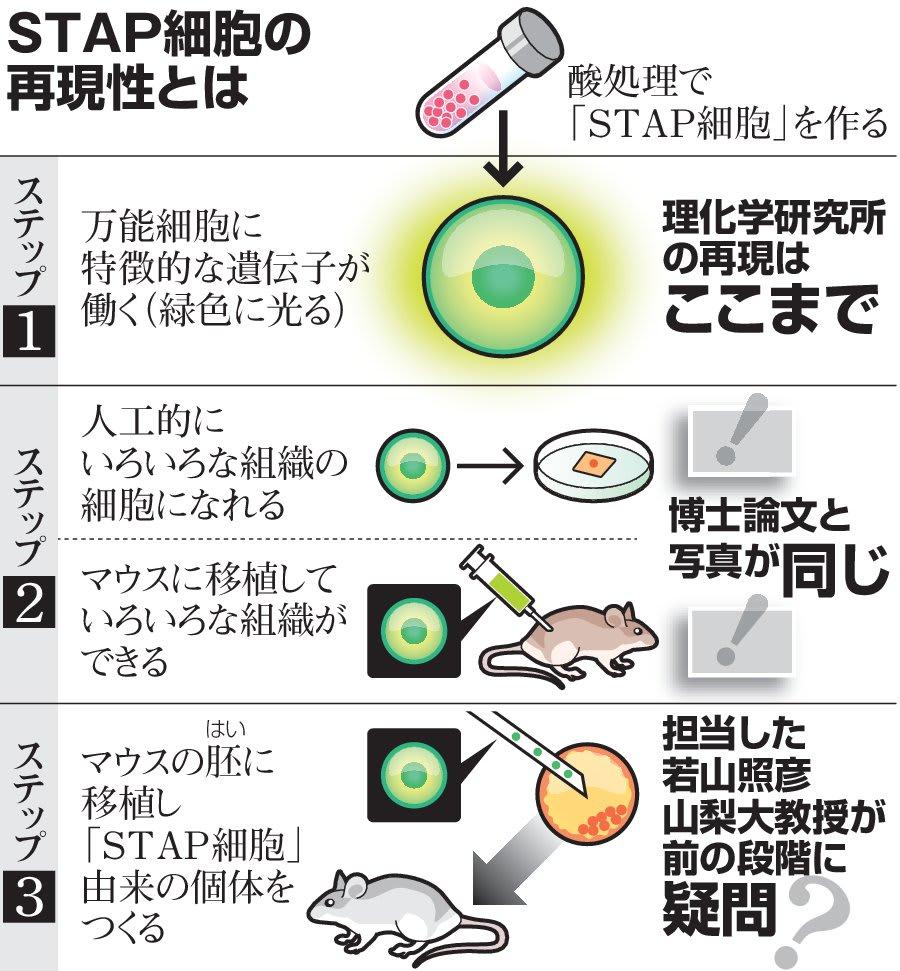 スタップ 細胞 特許