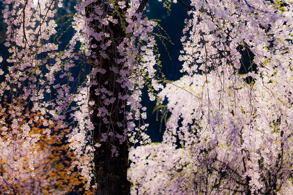 枝垂桜の写真