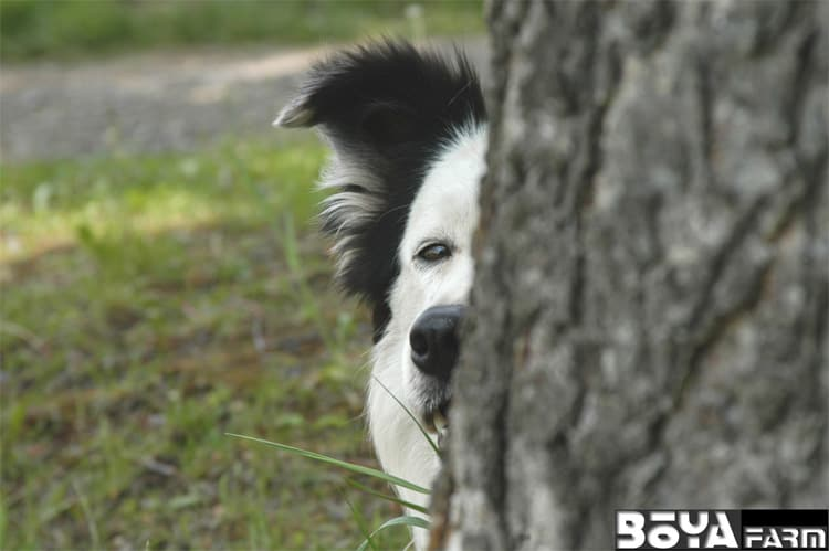 Image result for 犬 border collie  牧場者