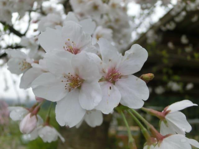 大屋根の下の桜