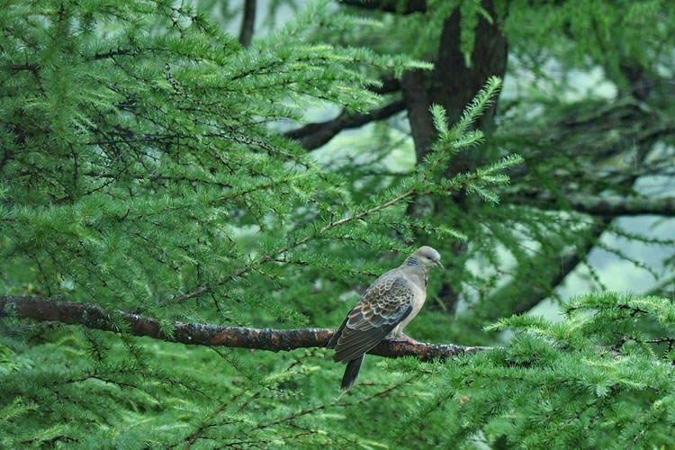 森のキジバト
