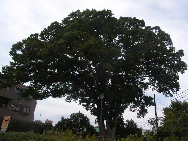 08月24日 トトロの樹