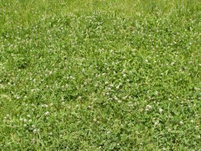 広い草地にシロツメクサの花がい...