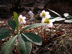 250pxhelleborus_niger_1
