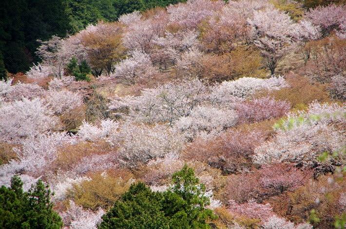 吉野山の桜