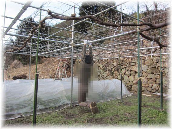 ピオーネの畑でぶら下がり健康法 2012年2月18日