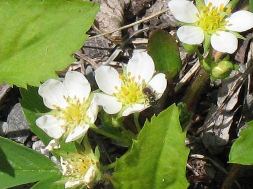 Ant on wild strawberry flower