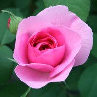 食べる薔薇・ピンク
