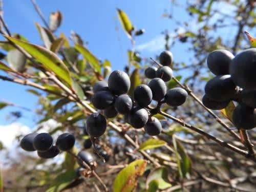 高ボッチ高原・鉢伏山で最近見る事の出来る実・種 ミヤマイボタ(深山水蝋)