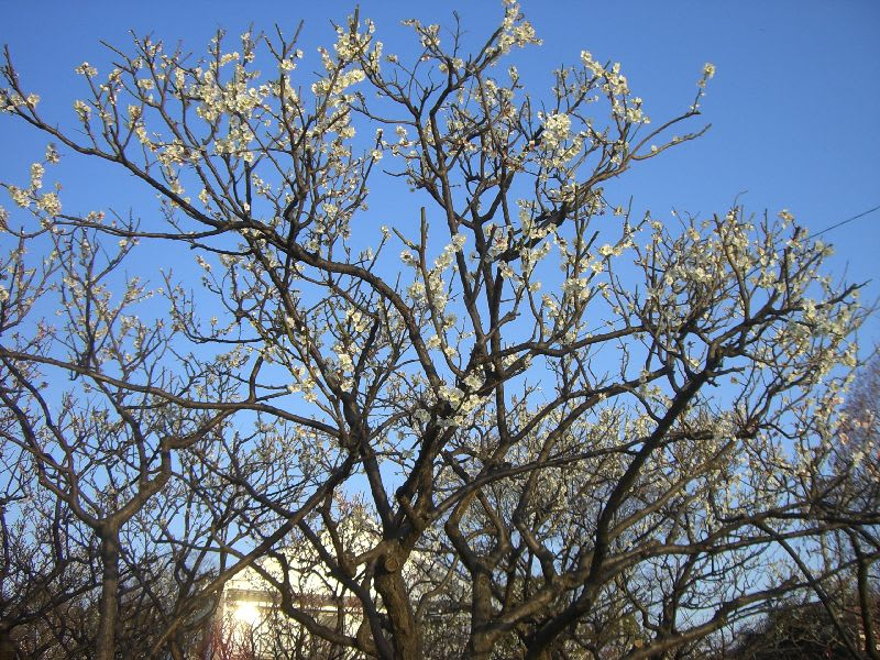 白梅の大木
