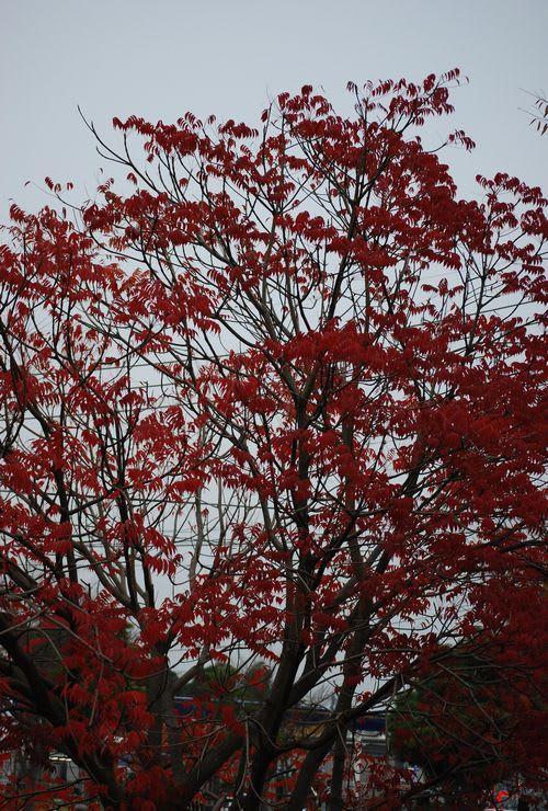 赤く色づいたハゼの木