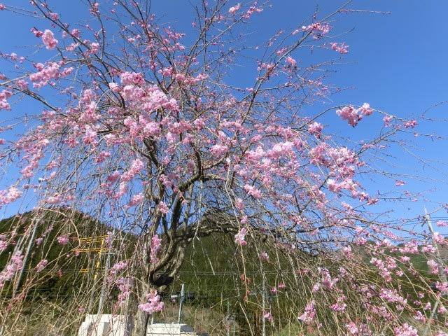 里のしだれ桜