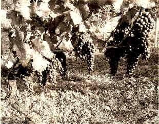メルシャンの自社管理畑のブドウ