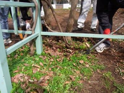 藤の根元に肥料を埋め込み