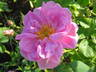 roseterruce