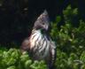 tamagawabird