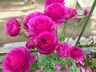 tomo-rose